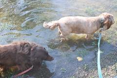 Why Walk On A Dry Trail (Tobyotter) Tags: frank dachshund link nolandtrail puddlw