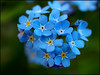 Day 112 (kostolany244) Tags: flowers blue macro closeup germany europe dof april forgetmenot journeys day112 geo:country=germany olympuse510 kostolany244 365the2015edition 3652015 journeys2015 2242015