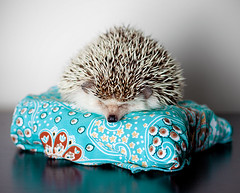Buckley the Hedgehog (itslindsay) Tags: blue cactus portrait pet baby cute love animal studio hilarious bed bedroom funny shoot pattern pointy photoshoot sweet lol small stock adorable images cutie professional sleepy exotic commercial tired tiny angry laugh getty editorial pokey hedgehog cuteness mad needles spikey omg unhappy grumpy prickly spikes hedgie gettyimages frustrated hedgehogs africanpygmy