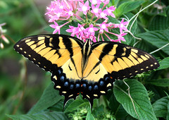 tiger swallowtail (robertskirk1) Tags: nature butterfly insect florida earth g wildlife tiger planet animalplanet swallowtail planetearth fortwilderness reat defendersofwildlife