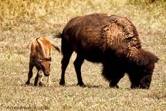 American Bison, Badlands National Park (4 Corners Photo) Tags: summer animal southdakota rural mammal cow buffalo unitedstates wildlife pasture vegetation northamerica calf grassland badlandsnationalpark greatplains americanbison penningtoncounty 4cornersphoto