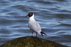 Black-headed Gull at Revekaien IMG_3370 (grebberg) Tags: bird norway norge gull april fugl jren rogaland blackheadedgull klepp 2015 hettemke chroicocephalusridibundus chroicocephalus revekaien