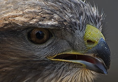 Getting close (ORIONSM) Tags: portrait bird eye up close beak raptor prey sigma150500 pentaxk3