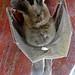 Egyptian Slit-faced Bat (Nycteris thebaica) found dead