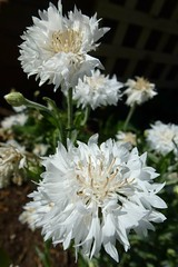 Cornflower white (dgardenia) Tags: dahlia dog pet macro home garden seeds mums mum frangipani geranium chrysanthemum seedling dahlias alyssum snapdragon diascia nemesia duranta geishagirl durantarepens