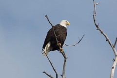 Alaska Eagle (Willie Kalfsbeek) Tags: wild bird alaska eagle bald ak willie kalfsbeek