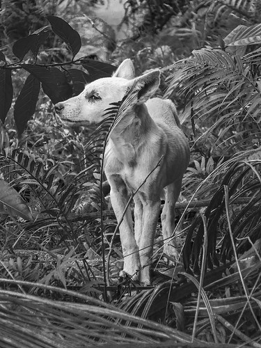 Feral White Dog in Jungle (download FREE - donations welcome - read below)