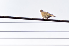 Checking me out (johnux) Tags: bird zoom dove sony powerlines telephoto powerline alpha far zoomlens nex mirrorless a6000 55210mm emount sel55210 ilce6000 55210mmzoomlens