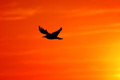 Seagull at sunset (barbasjaneiro) Tags: sunset summer sun bird nature colors wildlife seagull reserve sanctuary naturalreserve rnled