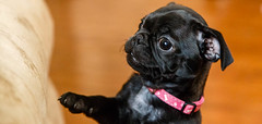 Theanimals09May15-15-Edit.jpg (fredstrobel) Tags: usa pets dogs animals ga sophie pug places pugs canton joansnewhome