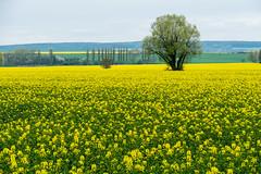 Der Wchter ber den Raps (fotomanni.de) Tags: tschechien tschechischerepublik gelb blte raps baum plzeskkraj vochov