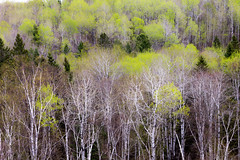 Early Spring Palette..{after the rains} (Boreal Bird) Tags: green spring evergreens buds duluth palette northernminnesota springgreen whitebirch borealforest maryamerman