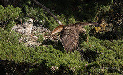 Off on an Errand (Rick Derevan) Tags: nest hawk fledgling redtailedhawk buteojamaicensis