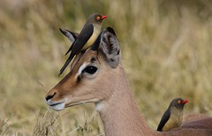 Red-billed Oxpecker (Buphagus erythrorhynchus) (Ian N. White) Tags: gaborone botswana impala redbilledoxpecker buphaguserythrorhynchus