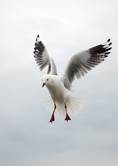 Wind beneath my wings (Ptolemy the Cat) Tags: bird flying seaside seagull gull queenscliff nikond600 nikonf282470mmlens