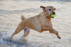 TYRELLA  DOGjpg (TT  FAUGHAN) Tags: uk ireland sea dog playing beach fun sand waves outdoor down co powerful splashing tyrella lecale