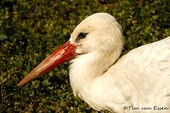 Avifauna (timvanessen) Tags: den vogels american rijn aan avifauna alphen