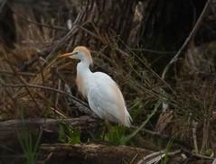 Cattle Egret by SpeedyJR (SpeedyJR) Tags: cowlesbogduneacresin 2016janicerodriguez cattleegret egrets birds wildlife nature cowlesbog duneacresindiana indiana speedyjr