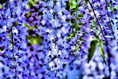 Wisteria (Rob Goldstein-Working) Tags: sanfrancisco california lighting camera flowers blue light canon spring raw bright essential wisteria fullcolor artbyrobgoldstein