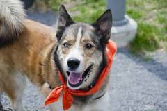 Wilma A190452 (6) (Ottawa Humane Society) Tags: dog dogs animal outside photography spring mix husky outdoor shepherd ottawa german ottawahumanesociety animalshelterphotography