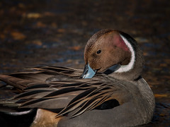 The Natural (kathybaca) Tags: world newyork male bird nature water birds animal river fly duck wings stream pretty earth feathers preen webbed pintail