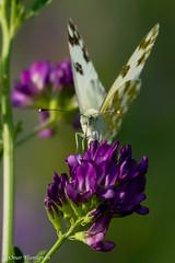 Butterfly. Farfalla. (omar.flumignan) Tags: canon butterfly insect eos ngc 7d farfalla insetti ef100400f4556lisusm allnaturesparadise