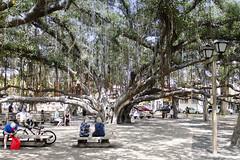 Banyan Tree Lahaina (rschnaible) Tags: park usa tree outdoors hawaii us tour pacific sightseeing maui tourist tropical tropics banyan lahaina