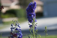 Delphinium (Ean Dunagan) Tags: flowers plant outdoors purple bokeh delphinium