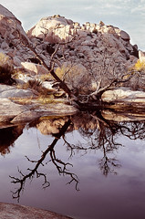 Dead Tree and Water (LXG_Photos) Tags: reflection tree film water rocks joshuatree eos3