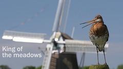 National bird of The Netherlands, the black-tailed godwit, king of the meadows.   #nature #bird #threatened #godwit #grutto #molen #mill #natuur #weide #meadow #Holland (hilco jansma) Tags: holland bird mill nature weide meadow natuur molen godwit grutto threatened