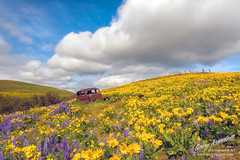 Rest In Peace (Gary Randall) Tags: gar77722 washington dallesmountain dmr oldcar cars antique flowers fieldofflowers balsamroot columbiagorge columbiarivergorge chevrolet 1937chevrolet
