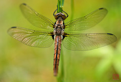 Dragonfly (Mitymous) Tags: yard macros explored oly50 momisgone spring2016