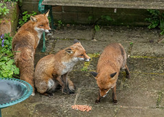 Red foxes (Vulpes vulpes) (Steven Whitehead) Tags: wild nature gardens canon garden fur outside outdoors feeding wildlife 300mm fox foxes redfox 2016 foxinthegarden