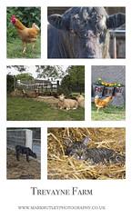 TREVAYNE FARM (mark_rutley) Tags: farm livestock trevaynefarm cattle chickens sheep roster cockerel cat calf