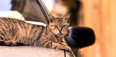 Why do cats stick out their tongue? (zilverbat.) Tags: travel car tongue cat canon mouth out dof bokeh adorable malta veterinarian cinematic tong zilverbat