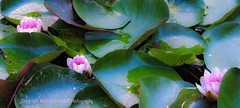 Alhambra Water Lily pond (Amberinsea Photography) Tags: beautiful amazing pond spain waterlily waterlilies alhambra granada andalusia amberinseaphotography