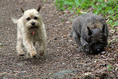 Jeter & Sedum - 5/24/16 (myvreni) Tags: pets dogs nature animals spring vermont cairnterriers