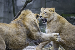 Fighting young lions! (Tambako the Jaguar) Tags: two male female playing fighting action together impressive young lion asiatic asian indian big wild cat mulhouse zoo france alsace nikon d4