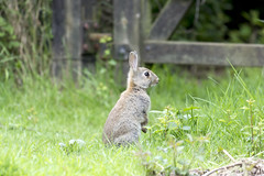 Who's there? (148/366) (AdaMoorePhotography) Tags: wild england rabbit bunny green nature grass animal countryside spring nikon natural wildlife ears essex d7200