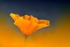 Rising slowly towards the sky (C-Smooth) Tags: blue sky orange sunlight flower macro nature floral fleur beauty closeup botanical rising petals spring nikon pretty colours poppy poppies bloom pollen blau fiore californianpoppy evanescence perennial cabello elegance goldenpoppy eschscholziacalifornica papaveraceae creatività ranunculales cupofgold anxiolytic papaverodellacalifornia csmooth d3100 stefanocabello hh66 medicinally
