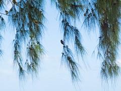 Oiseaux dans Filaos - La Réunion (graphik)