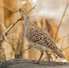 Grey Francolin (sunnyoberoi) Tags: travel wild india bird nature forest photography grey wildlife profile birding jungle thrill rajasthan ranthambhore francolin wildbird wildlifephotography ranthambhorenationalpark