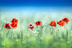 Field of beauty (Wojciech Grzanka) Tags: flowers red green nature field poppiesfield