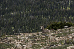 "Bighorn Sheep • <a style=""font-size:0.8em;"" href=""http://www.flickr.com/photos/63501323@N07/27815812264/"" target=""_blank"">View on Flickr</a>"
