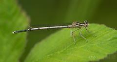 june2016-4 (chrisbutton68) Tags: damselfly dragonflies dragonfly horizontal keyworded platycnemispennipes whiteleggeddamselfly wildlife workinprogress