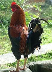 Cockerel, Gran Parque Nacional Sierra Maestra, Cuba (susiefleckney) Tags: cuba cockerel granparquenacionalsierramaestra