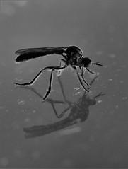 insekt (heiko.moser) Tags: insekt insect insetto tier tiere animal animale art noiretblanc natur nb nero nature natura nahaufnahme bw blackwihte blancoynegro monochrom mono macro makro canon sw schwarzweiss entdecken discover einfarbig schwarzweis spiegel schatten shadow mcke heikomoser
