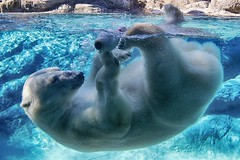 The heat is on (ucumari photography) Tags: ucumariphotography anana polarbear ursusmaritimus oso bear animal mammal nc north carolina zoo osopolar ourspolaire oursblanc eisbr sbjrn orsopolare  blue water bowlingpin july 2015 dsc8721 specanimal