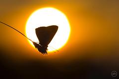 sunset in a little small world (Dirk Hoffmann Fotografie) Tags: macro butterfly nature sun sunset orange
