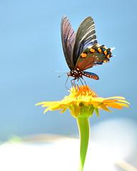 A Pipe Vine Butterfly on clouds (thorntm) Tags: nikon70200lens mexicansunflower butterfly pipevinebutterfly t16072801 mdtpix nikond800 afc42908x10 flickrestrellas naturebynikon thebestofday gününeniyisi autofocus